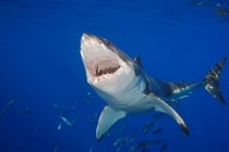 Google Protects Cables From Shark Attacks